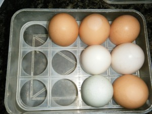 It stores one dozen eggs...although some of my chicken and duck eggs come out too big to fit, so  the Crisperette is good for petite sized eggs only :).